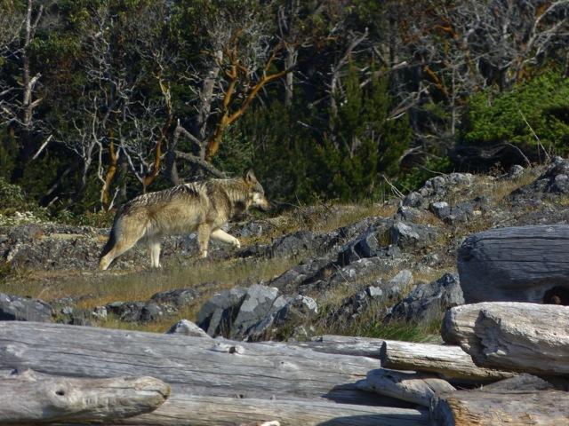 Staqeya the Wolf