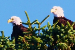 2 BALD EAGLES