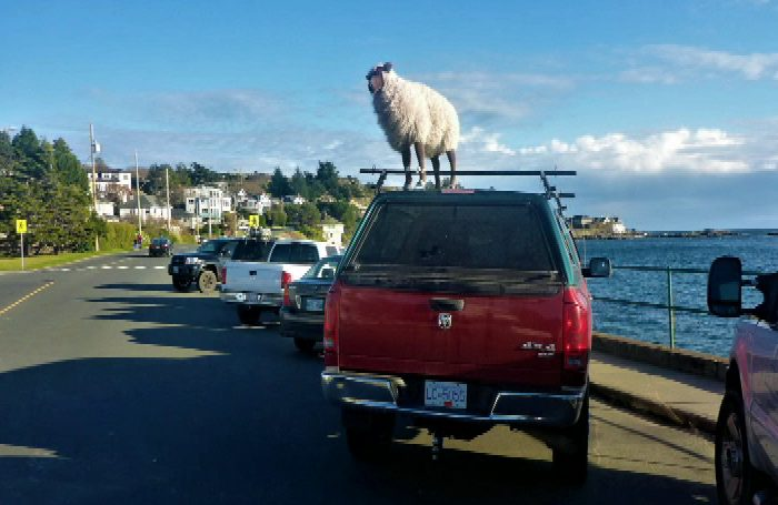 2017-12-05 : Sheepers at McNeil Bay